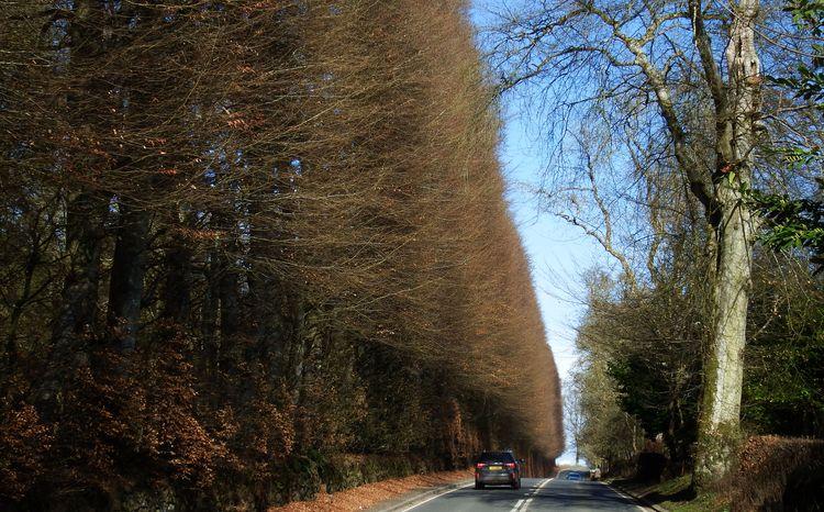 Meikleour Beech Hedge – największy żywopłot na świecie