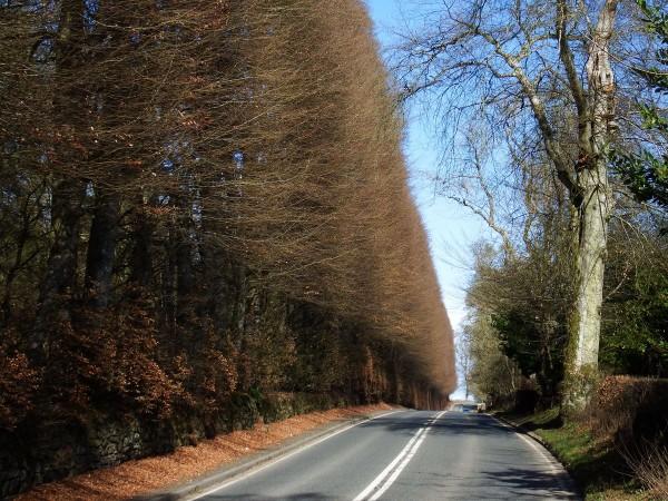 Meikleour Beech Hedge - największy żywopłot w Szkocji